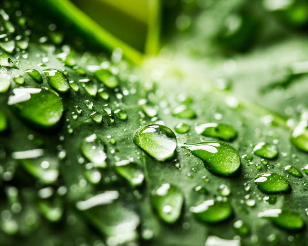 Water drops on a green leaf. Shallow depth of field macro photo.